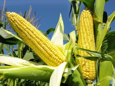 Resultado de imagem para espigas milho