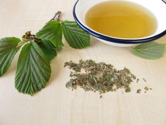 Hamamelis e suas propriedades medicinais.