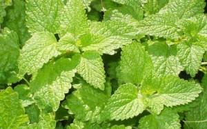 beneficios da erva-cidreira para a saude