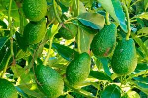 beneficios da folha de abacate