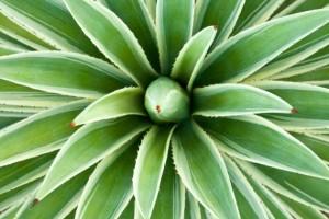 Propriedades da planta agave