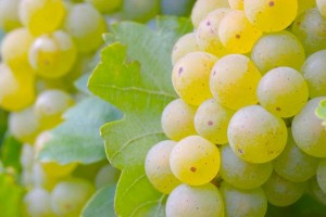 Benefícios das uvas verdes
