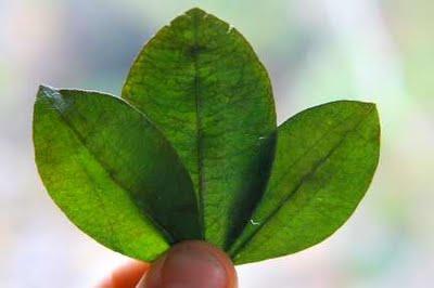 Usos medicinais da folha de coca