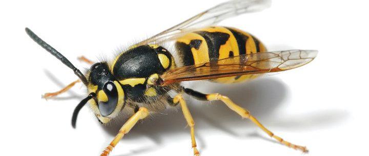 Como saber se você é alérgico a abelhas e vespas