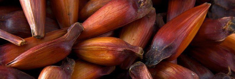9 benefícios do pinhão para a nossa saúde