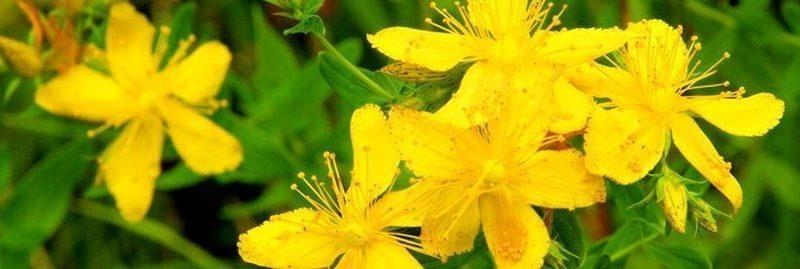 Propriedades e benefícios da erva de São João