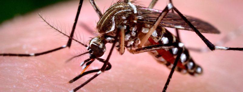 Chikungunya: Conheça tudo sobre a doença transmitida pelo mosquito Aedes aegypti