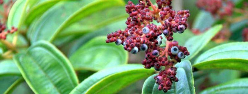Chá de canela de velho: para que serve, como fazer e contraindicações