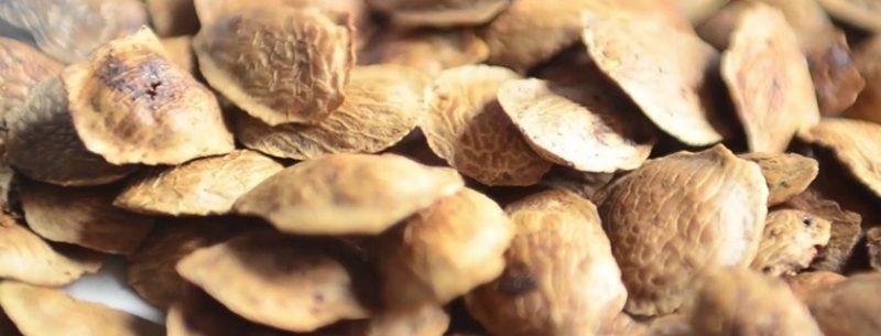 Conheça os benefícios e contraindicações do chá de semente de sucupira