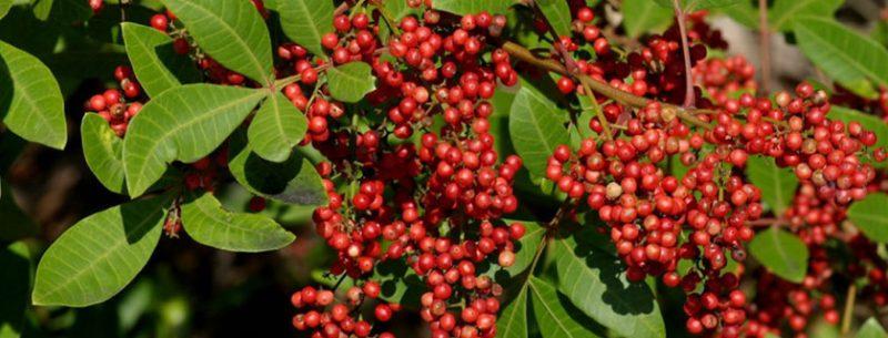 Chá de aroeira: 6 incríveis benefícios medicinais para melhorar sua saúde